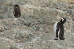 Os pinguins da Antártica fotografia de stock