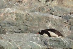 Os pinguins da Antártica imagem de stock royalty free