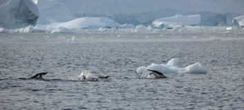 Os pinguins da Antártica fotos de stock royalty free