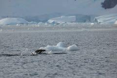Os pinguins da Antártica imagens de stock royalty free