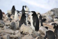 Os pinguins de Chinstrap estão sonhando na Antártica imagens de stock royalty free