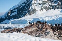 Os pinguins de Gentoo aproximam a montanha Fotos de Stock Royalty Free