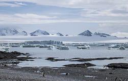 Os pinguins de Gentoo na praia em Brown blefam, a Antártica imagem de stock