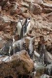 Os pinguins de Humboldt imagens de stock royalty free
