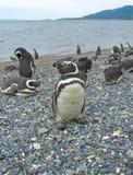 Os pinguins de Magellan aproximam Ushuaia Foto de Stock Royalty Free