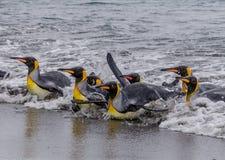 Os pinguins de rei molhados, nadadores deslizam na costa após a pesca Fotografia de Stock