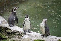 Os pinguins de Yo, beira do lago refrigeram para fora Imagem de Stock