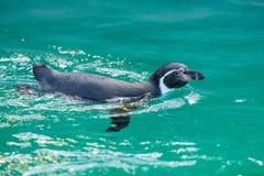 Os pinguins dos pagos do ¡ de Galà podem acelerar nadar rapidamente foto de stock