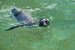 Os pinguins dos pagos do ¡ de Galà podem acelerar nadar rapidamente fotos de stock