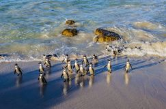 Os pinguins em pedregulhos encalham, cidade do ` s de Simon, África do Sul imagem de stock