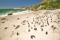 Os pinguins em pedregulhos encalham, fora de Cape Town, África do Sul fotos de stock