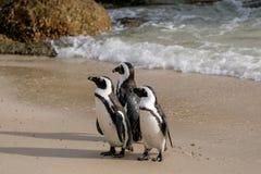Os pinguins em pedregulhos encalham em Simonstown, Cape Town em África do Sul A praia é casa a uma colônia de Afr fotos de stock royalty free
