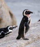 Os pinguins em pedregulhos encalham em Simonstown, Cape Town em África do Sul A praia é casa a uma colônia de Afr foto de stock