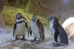 Os pinguins estão andando na natureza fotos de stock