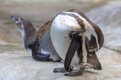 Os pinguins estão andando na natureza imagens de stock