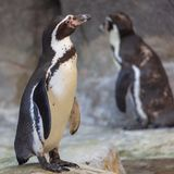 Os pinguins estão andando na natureza fotografia de stock royalty free