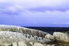 Os pinguins expõem ao sol o banho nas rochas fotografia de stock