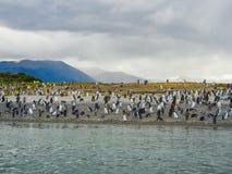 Os pinguins magellanic nas ilhas do patag de Terra do Fogo imagem de stock royalty free