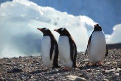 Os pinguins na Antártica fotografia de stock royalty free
