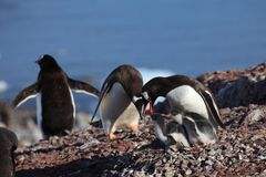 Os pinguins na Antártica foto de stock royalty free