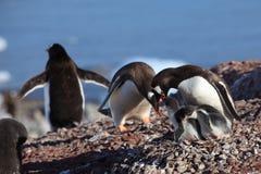 Os pinguins na Antártica fotos de stock