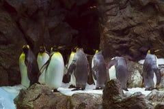 Os pinguins na geleira artificial em Loro estacionam (Loro Parque), T Imagem de Stock Royalty Free
