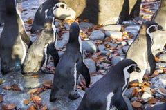 Os pinguins no jardim zoológico em uma queda bonita resistem fotografia de stock