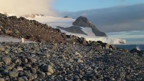 Os pinguins no por do sol andam ao longo da inclinação em seixos Andreev filme