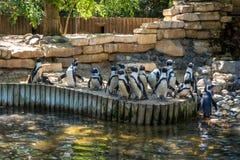 Os pinguins preto e branco no banco de um lago pond fotografia de stock royalty free