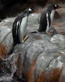 Os pinguins secundário-antárticos ágeis saltam da água que sae de uma pena foto de stock royalty free