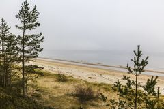 Os pinheiros Báltico Fotos de Stock Royalty Free
