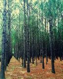 Os pinheiros em Lillian Alabama plantaram em linhas retas - formas geométricas da floresta de Alabama imagens de stock royalty free