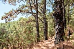 Os pinheiros enormes na floresta ajardinam, floresta de Esperanza, Tenerife imagens de stock