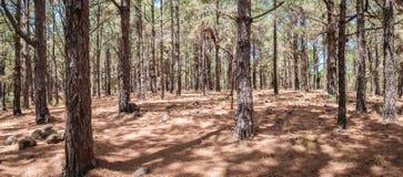 Os pinheiros enormes na floresta ajardinam, floresta de Esperanza, Tenerife foto de stock royalty free