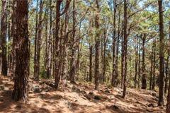 Os pinheiros enormes na floresta ajardinam, floresta de Esperanza, Tenerife fotos de stock