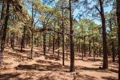 Os pinheiros enormes na floresta ajardinam, floresta de Esperanza, Tenerife imagem de stock royalty free