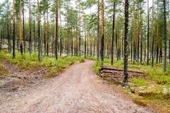 Os pinheiros no líquene cobriram dunas de areia O líquene é na maior parte Cladon Imagem de Stock Royalty Free
