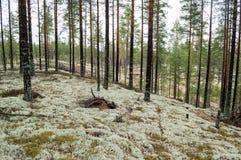 Os pinheiros no líquene cobriram dunas de areia O líquene é na maior parte Cladon Foto de Stock Royalty Free