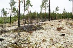 Os pinheiros no líquene cobriram dunas de areia O líquene é na maior parte Cladon Fotos de Stock Royalty Free
