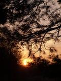 Os pinhos brancos mostraram em silhueta o por do sol Foto de Stock