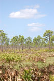 Os pinhos do corte viram dentro flatlands do Palmetto Foto de Stock
