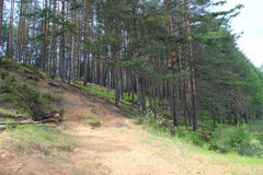 Os pinhos são árvores das coníferas no gênero pinus Imagens de Stock