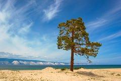 Pinhos na ilha Olkhon imagem de stock royalty free