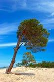 Pinhos na ilha Olkhon fotos de stock royalty free