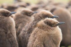 Os pintainhos do pinguim de rei fecham-se acima Imagens de Stock