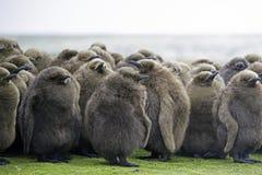 Os pintainhos do rei Penguin (patagonicus do Aptenodytes) huddled no berçário Imagem de Stock Royalty Free