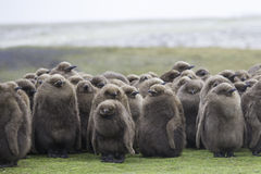 Os pintainhos juvenis do rei Penguin huddled na chuva Poin voluntário Fotografia de Stock