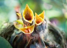 Os piscos de peito vermelho do bebê abrem os bicos Fotografia de Stock