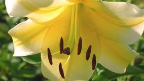 os pistilos e os estames balançam na flor em botão Flores amarelas do lírio do jardim no verão no jardim closeup Negócio da flor vídeos de arquivo