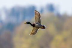 Os platyrhynchos masculinos dos anas do pato do pato selvagem do voo no luminoso abrem Fotos de Stock